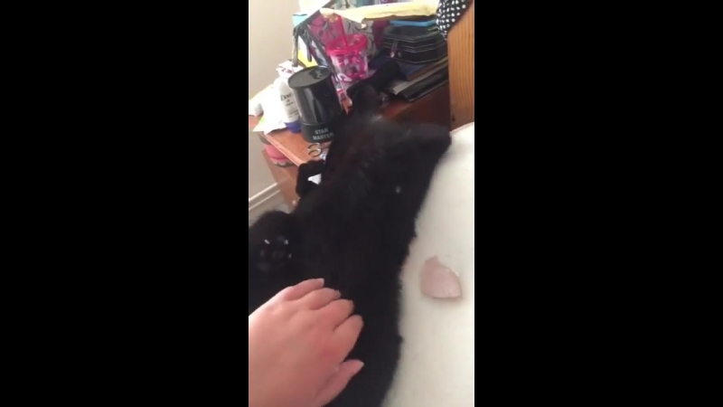Cat falls off the bed whilst he gets a belly rub