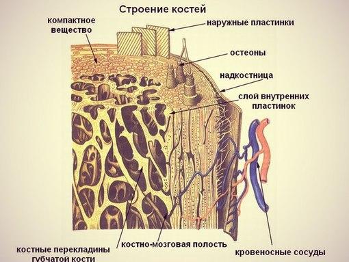 рис.4- Внешнее строение