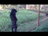 Медведь прогуливается на двух лапах вдоль забора
