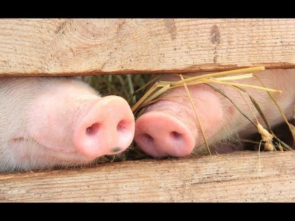Почему Mусульмане не Едят Свинину: Свинья это человек. №62