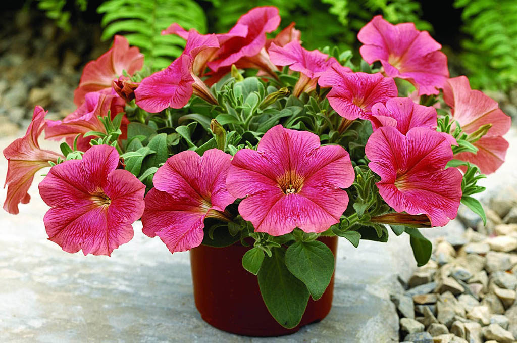 Для успешного выращивания ПЕТУНИЙ хорошо использовать такую формулу: большая емкость + регулярные подкормки достаточный полив + удаление отцветших цветков.