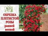 ОБРЕЗКА ПЛЕТИСТОЙ РОЗЫ ВЕСНОЙ ФОРМИРОВАНИЕ КУСТА, ЧЕРЕНКИ