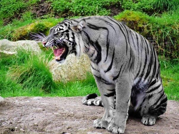 Это мальтийский голубой тигр, и этот вид считали вымершим до недавнего времени.