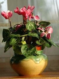 Цветы цикламена можно использовать на срез.  Цветы имеют слабый, едва уловимый, своеобразный аромат свежести и...