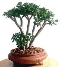 Толстянка денежное дерево.  Его можно вырастить похожим на бонсай.