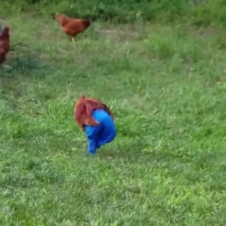 Chicken wore pants coub