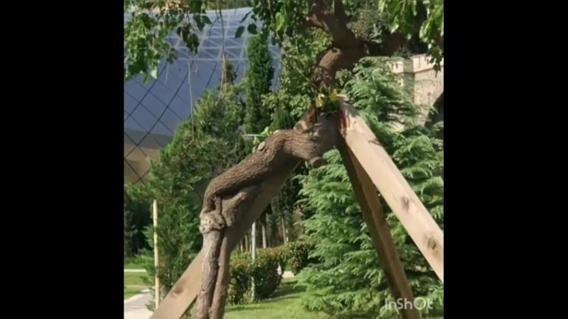 В Грузии увидела необычную форму деревьев. Вначале подумала, что так формируют (не для кого же уже не секрет, как формируют шпал
