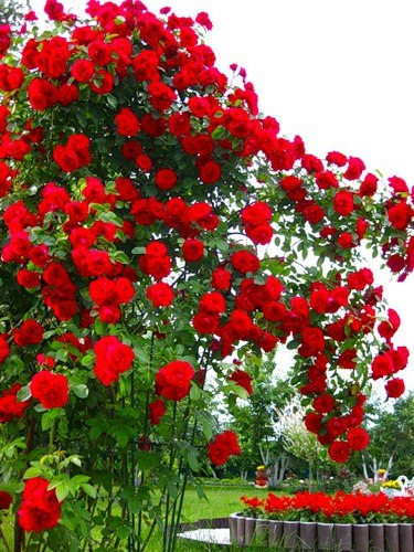 Роза байкал плетистая