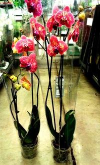 Орхидея в горшке купить в спб