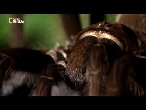 Удивительные Пауки (Птицеед голиаф)