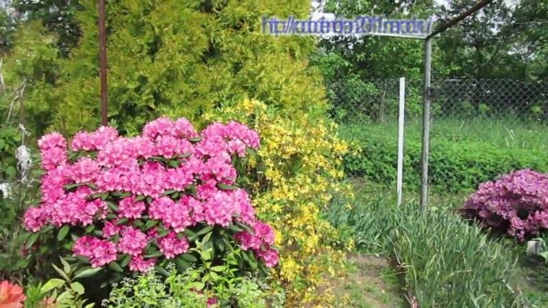 30 мая 2015г Цветение рододендронов в Подмосковье