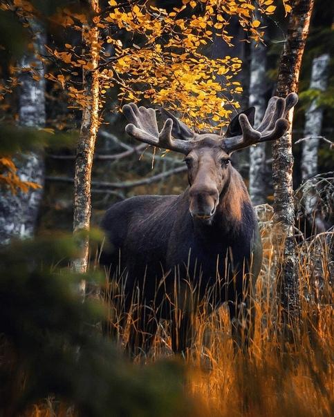 Фотограф Осси Сааринен (Ossi Saarinen) показал всему миру природу Финляндии, как настоящую сказочную страну, с нетронутыми лесами, покрывающими три четверти территории. И в этих мирных и древних