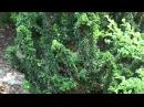 Hinoki Cypress - Chamaecyparis obtusa 'Chirimen' Cham. obtusa 'Nana' American Conifer Society