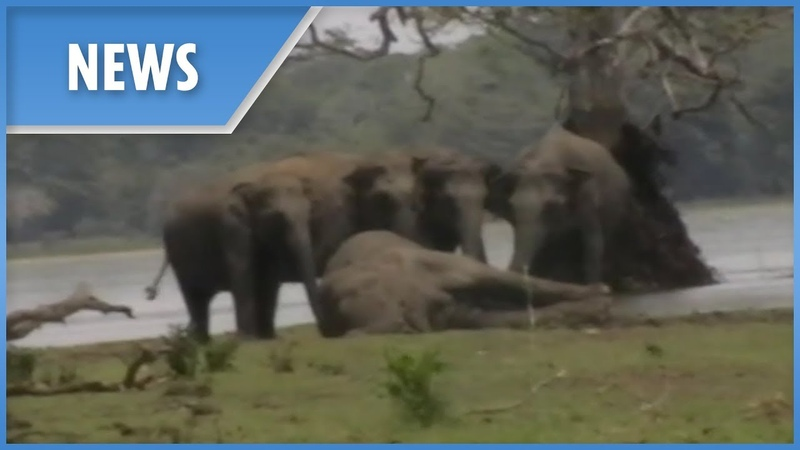 Elephant herd gather to pay final respects to dead leader