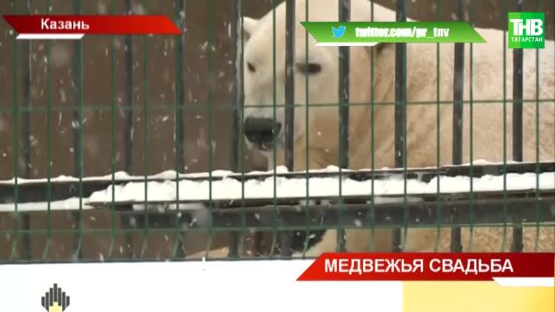 В Казанском зоопарке пополнение- новый житель - белый медведь по кличке Терпей - ТНВ