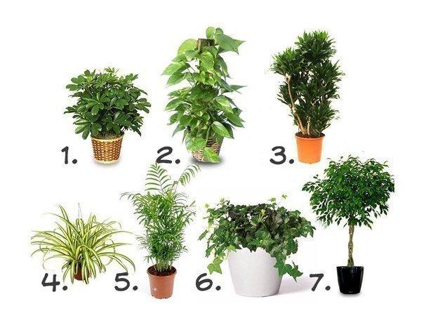 Комнатные растения, очищающие воздух Воздух в квартире в несколько раз загрязненнее, чем на улице. Различная бытовая техника, пластиковая мебель, мебель из ДСП, линолеум, панели, краска, обои, стиральные порошки и моющие средства – все это насыщает воздух в квартирах и офисах ядовитыми соединениями: бензолом, толуолом, фенолом, формальдегидом, угарным и углекислым газами, оксидами азота и аммиаком. Лучшие 7 растений для очистки воздуха внутри помещения: 1. Шеффлера (Schéfflera или Зонтичное…