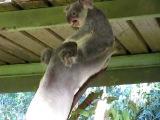 Видео коала-беспредельщица.Very angry koala.