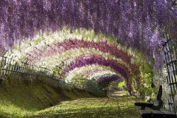 Виноградные» гроздья глицинии Глициния (вистерия) - это лиана, которая предпочитает обвиваться вокруг опор. Опорой может служить другое дерево, беседка, стена здания. Глициния цветет большими
