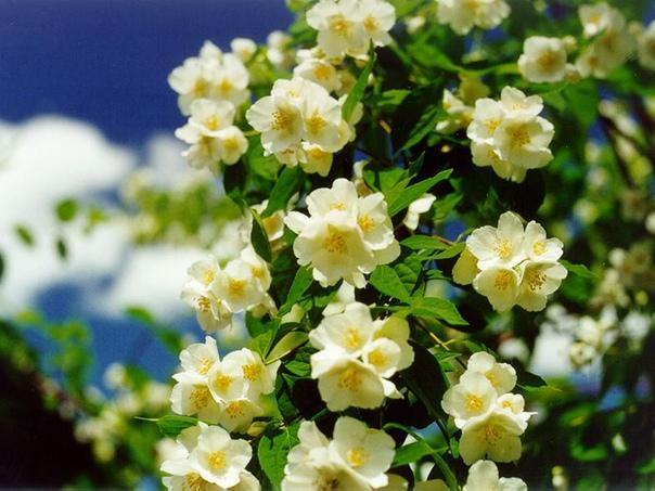 правильная посадка, уход и обрезка жасмина залог обильного цветения культурные «запросы» тропического растения простые, но требуют последовательности от садовода. посадка и уход кустарника