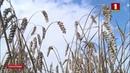 Белорусские аграрии приблизились к полуторамиллионному рубежу. Панорама