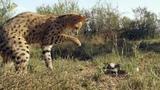 Дикая природа Южной Африки South Africa 2015 03. Убийцы Калахари