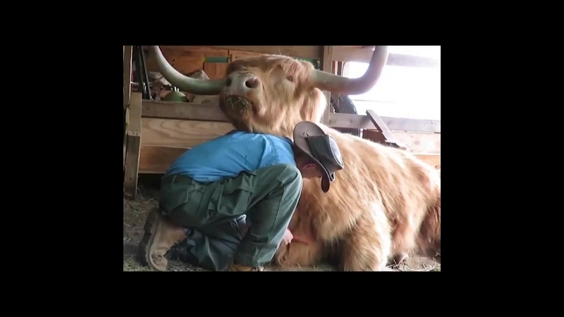 The most ordinary of things ... just a guy grooming a large Scottish Highland cow