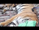 Как перевозили тигра в зоопарк