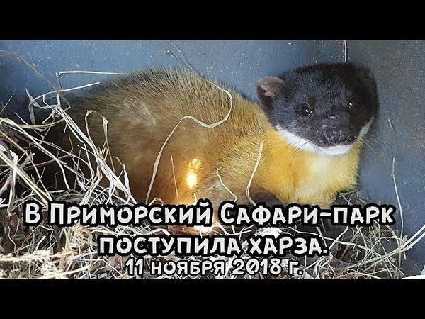В Приморский Сафари-парк поступила харза. 11 ноября 2018 г.
