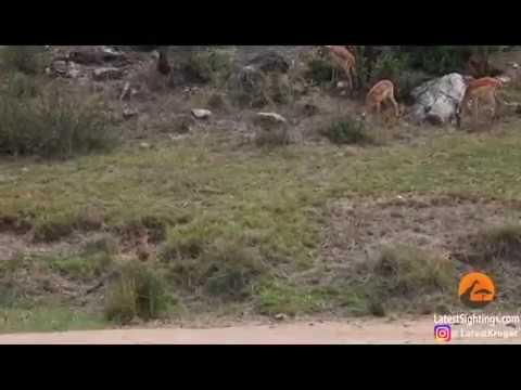 В Национальном парке Крюгера в ЮАР леопард в прыжке поймал Импалу