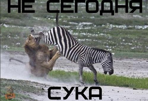 фото льва и зебры