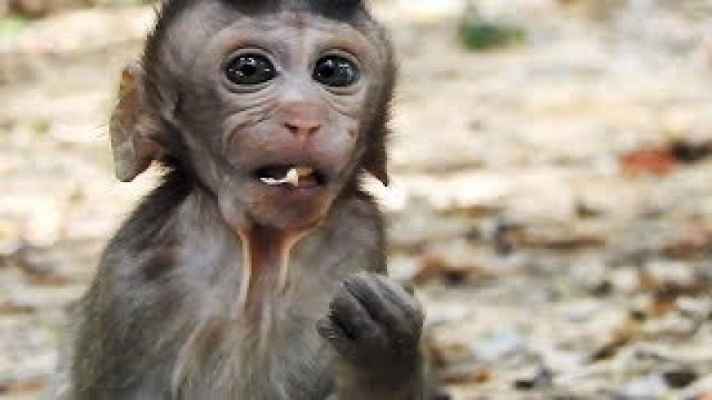 Cute Little Baby Monkey Can Eat Lotus Fruits - Lovely Baby Monkey Eating Fruit
