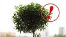 Миртовое дерево в жилище. Польза и вред миртового дерева для человека.