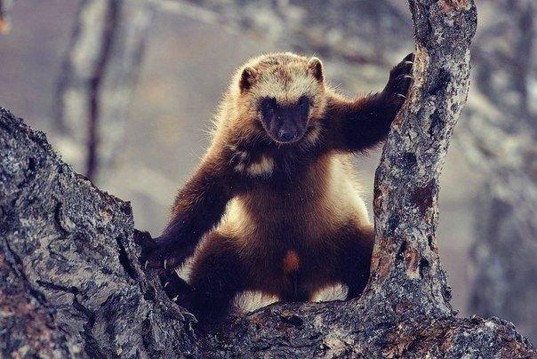 Росомаха — самый свирепый хищник на земле, не имеющий себе равных. Росомаха не знает страха и может напасть на животных, которые гораздо крупнее и сильнее ее. Известны случаи, когда росомаха отгоняла медведей и пум от их добычи. Росомаха обладает отличным пищеварением: ест, переваривает и испражняется быстро и потому постоянно голодна и обладает неуемным аппетитом, вполне совместимым с её свирепостью.