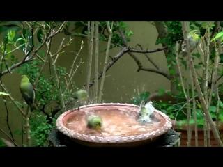 Японская птичка белоглазка (лат. Zosterops japonicus) — маленькая перелётная субтропическая птица из семейства белоглазковых,отр