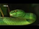 Nat Geo Wild Самые опасные змеи в мире 720р