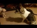 Аля и Шкет - собачьи бои.