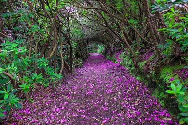 Рододендроновый тоннель в парке Ринагросс в Кенмере, Ирландия