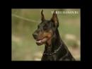Всем собакам породы доберман посвящается