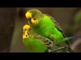 Австралия: страна попугаев / Australia: Land of Parrots