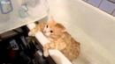 Толстый кот пытается вылезти из ванны