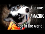 The most amazing dog tricks performed by Splash the border collie