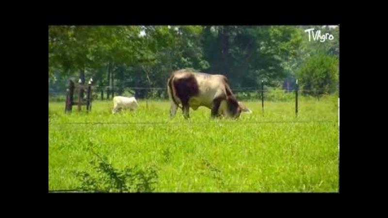 Producción de Carne Bovina mediante Ceba Intensiva - TvAgro, Juan Gonzalo Angel