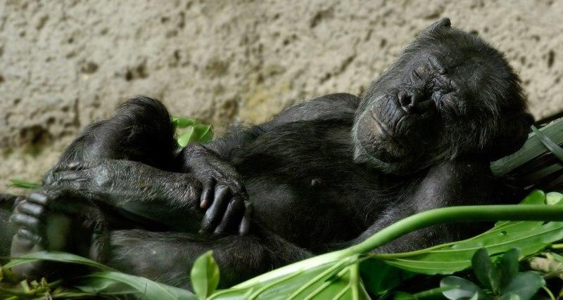 Ваша постель грязнее, чем у немытых шимпанзе: мнение ученых