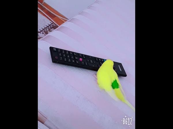 Kumandaya yürüyen muhabbet kuşu )