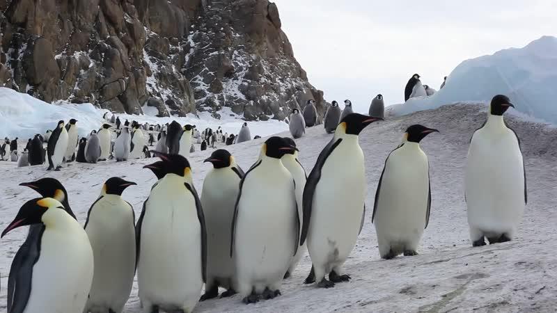 Пингвины. Антарктида