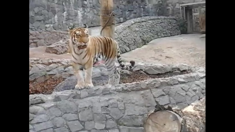 Тигр крупно в Ленинградском зоопарке
