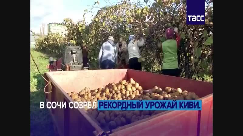 ВИТАМИННЫЙ РАЙ В КРАСНОДАРСКОМ КРАЕ.