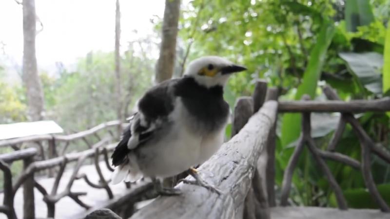 говорящая птица Тайланд 1