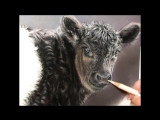 Belted Galloway Calf Pastel Demonstration by Roberta Roby Baer PSA