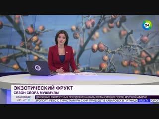 Спасение от ангины,в Азербайджане начался сезон сбора мушмулы. Азербайджан Azerbaijan Azerbaycan БАКУ BAKU BAKI Карабах 2018 HD